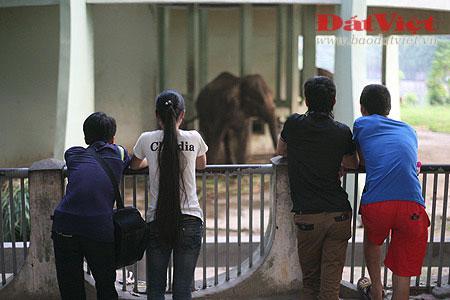 Đau xót nhìn voi Thủ Lệ gầy trơ xương - 8