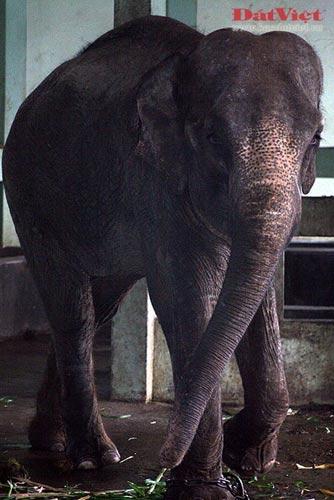 Đau xót nhìn voi Thủ Lệ gầy trơ xương - 9