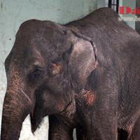 Đau xót nhìn voi Thủ Lệ gầy trơ xương