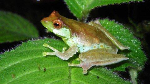 Kỳ lạ: Loài ếch hót như chim ở Việt Nam - 1