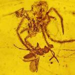 Tin tức trong ngày - Tìm thấy nhện săn mồi chết cứng 100 triệu năm