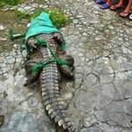 Hàng trăm cá sấu lớn sổng chuồng