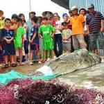 Lùng sục tìm cá sấu sổng chuồng