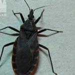 Lại bắt được bọ xít hút máu người ở Quy Nhơn