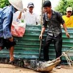 Tin tức trong ngày - Đã bắt được 73 con cá sấu sổng chuồng