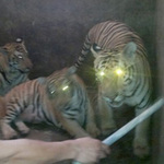 Tin tức trong ngày - Ai đã bảo kê cho cả làng nuôi hổ?