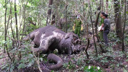 """""""Cơn lốc"""" săn ngà đẩy voi đến tuyệt chủng - 1"""