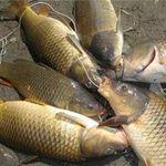Sức khỏe đời sống - Ăn cá chép sống, sán chui vào cổ