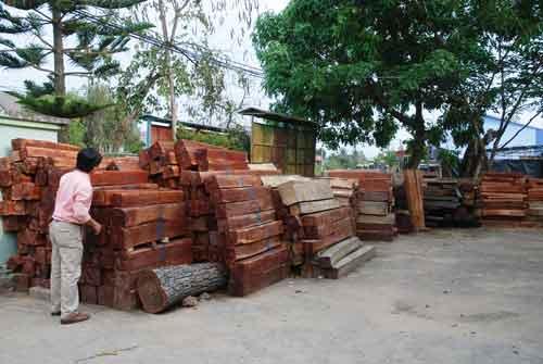 Lâm tặc triệt hạ gỗ quý ngay sát ủy ban xã - 1