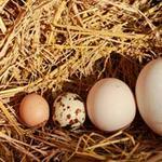Tin tức trong ngày - HN: Gà đẻ trứng bé hơn trứng chim cút