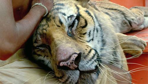Phim cậu bé sống với hổ trên biển đến VN - 4