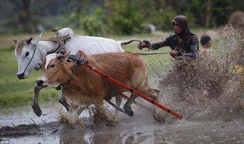 Sôi động lễ hội đua bò Indonesia - 2