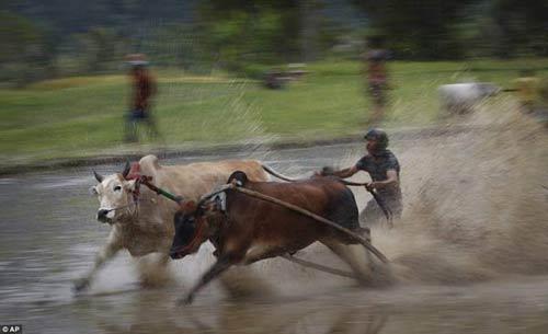 Sôi động lễ hội đua bò Indonesia - 4
