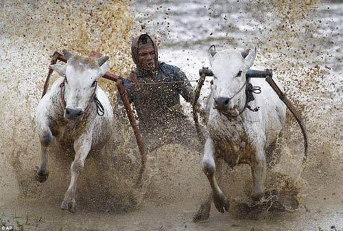 Sôi động lễ hội đua bò Indonesia - 5