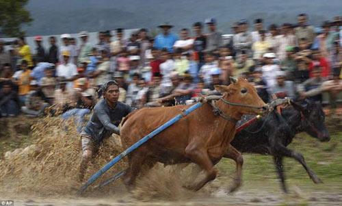 Sôi động lễ hội đua bò Indonesia - 6