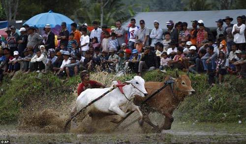 Sôi động lễ hội đua bò Indonesia - 1