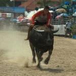 Tin tức trong ngày - Video: Hội đua trâu truyền thống ở Thái Lan