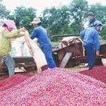 Thị trường - Tiêu dùng - Lần đầu tiên xuất khẩu cà phê vượt 3 tỷ USD