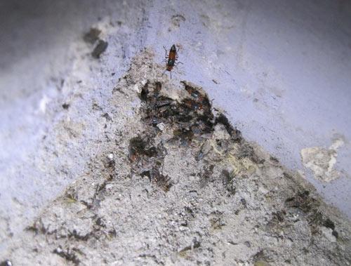 HN: Kiến ba khoang rồng rắn tới chung cư - 5