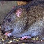 Sức khỏe đời sống - TPHCM: Phát hiện ca bệnh suy thận vì bị... chuột cắn