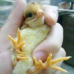 Phi thường - kỳ quặc - Chú gà 9 cựa mới nở