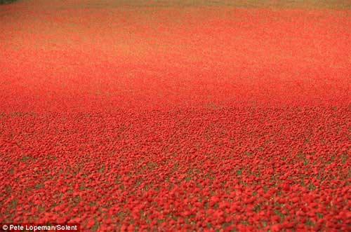 Những cánh đồng hoa tuyệt đẹp ở nước Anh - 2