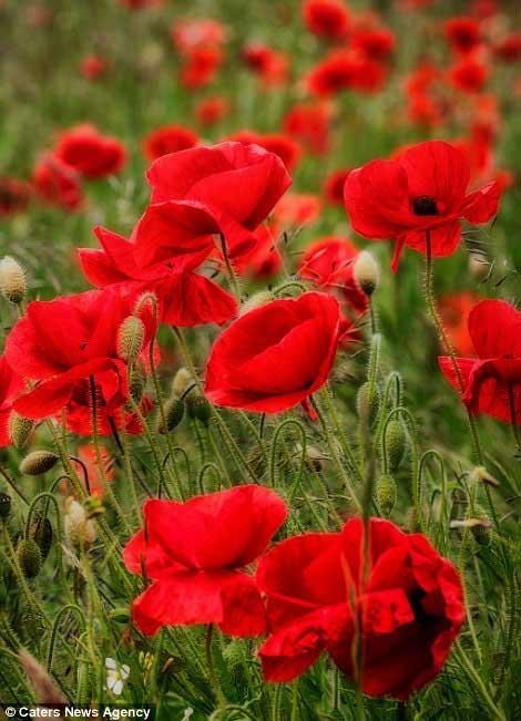 Những cánh đồng hoa tuyệt đẹp ở nước Anh - 3