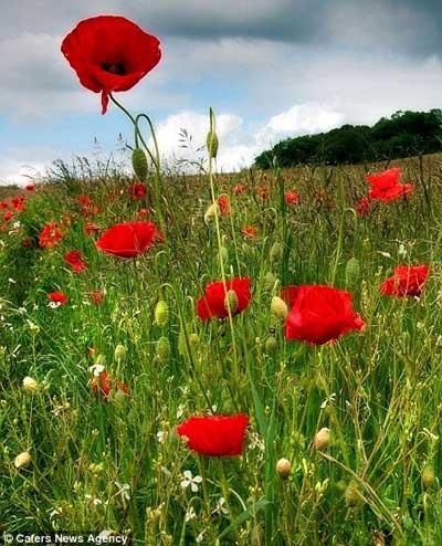 Những cánh đồng hoa tuyệt đẹp ở nước Anh - 4