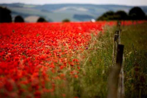 Những cánh đồng hoa tuyệt đẹp ở nước Anh - 6