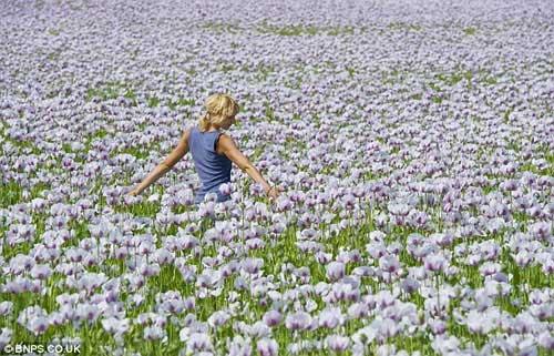 Những cánh đồng hoa tuyệt đẹp ở nước Anh - 7
