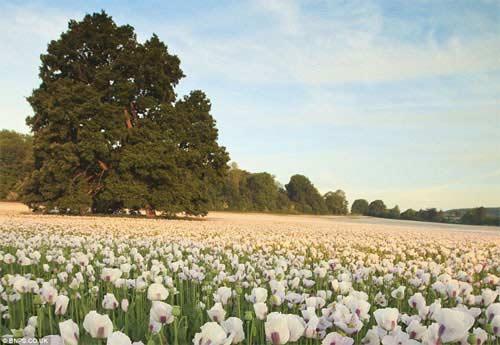Những cánh đồng hoa tuyệt đẹp ở nước Anh - 10