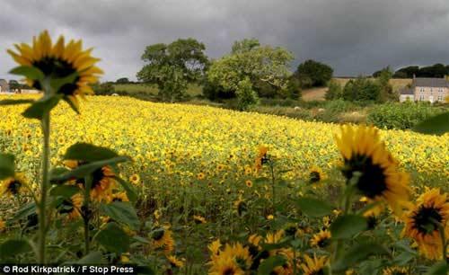 Những cánh đồng hoa tuyệt đẹp ở nước Anh - 11