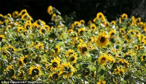Những cánh đồng hoa tuyệt đẹp ở nước Anh - 12
