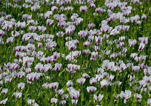 Những cánh đồng hoa tuyệt đẹp ở nước Anh - 8
