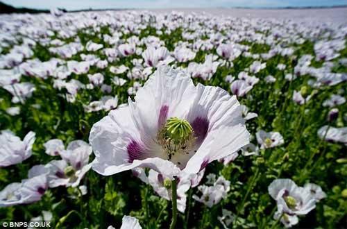 Những cánh đồng hoa tuyệt đẹp ở nước Anh - 9