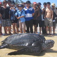 Quảng Bình: Bắt được rùa biển nặng 300kg