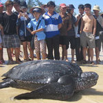 Tin tức trong ngày - Quảng Bình: Bắt được rùa biển nặng 300kg
