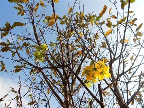 Mai vàng nở rực bất thường ở Huế sau 3 thập kỷ - 6