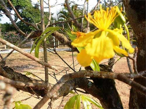 Mai vàng nở rực bất thường ở Huế sau 3 thập kỷ - 7