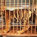 Tin tức trong ngày - Vụ bắt 2 con hổ dân nuôi: Chờ ý kiến tỉnh!