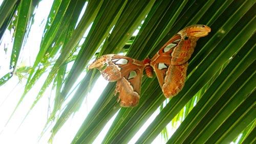Phát hiện bướm khổng lồ tại Nghệ An - 1