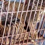 """Tin tức trong ngày - """"Tạm gửi"""" 2 cá thể hổ bị bắt giữ ở Diễn Châu"""