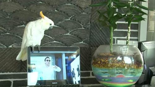 Clip vẹt hát Gangnam Style - 1