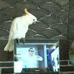 Phi thường - kỳ quặc - Clip vẹt hát Gangnam Style