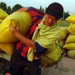 Thị trường - Tiêu dùng - Giá lúa gạo bất ngờ giảm mạnh