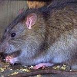 Sức khỏe đời sống - Người dân phấp phỏng lo chuột cắn