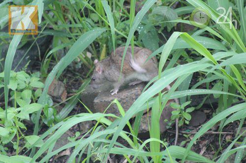 Dân ngóng giải pháp diệt chuột - 4