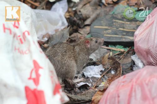 Dân ngóng giải pháp diệt chuột - 5