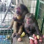 Tin tức trong ngày - Giải cứu thành công hai con khỉ quý hiếm