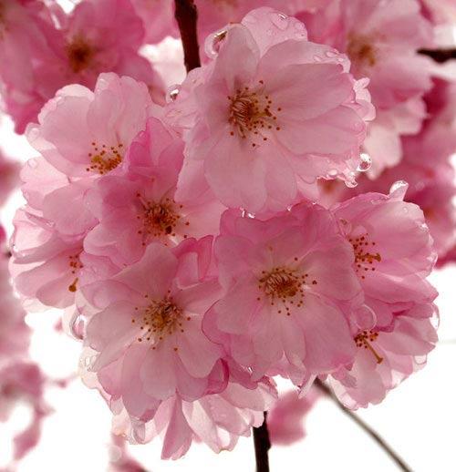 Chiêm ngưỡng 10 loài hoa quyến rũ nhất thế giới - 1